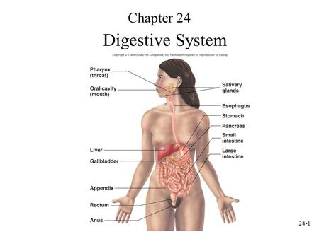 24-1 Chapter 24 Digestive System. 24-2 Digestive System Anatomy Digestive tract: also called alimentary tract or canal –GI tract: technically refers to.