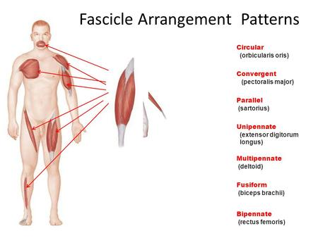 Circular (orbicularis oris) Convergent (pectoralis major) Parallel (sartorius) Unipennate (extensor digitorum longus) Multipennate (deltoid) Fusiform (biceps.