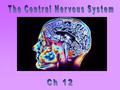 Medulla oblongata Cerebellum Diencephalon: Cerebrum Brain stem: Thalamus Epithalamus Hypothalamus Pineal gland Midbrain Pons Spinal cord Pituitary.