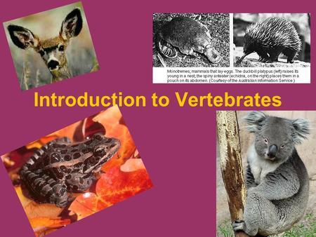 Introduction to Vertebrates