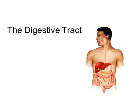 The Digestive Tract. 2 The GI tract (gastrointestinal tract) The muscular alimentary canal Mouth Pharynx Esophagus Stomach Small intestine Large intestine.