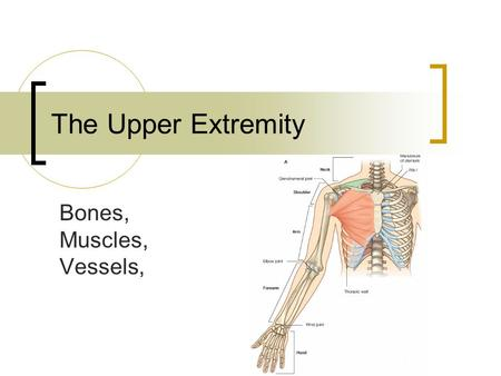 The Upper Extremity Bones, Muscles, Vessels,. Bones 30 bones!!!! Appendicular skeleton Pectoral girdle  Scapula  Clavicle Allows for mobility  Ball.