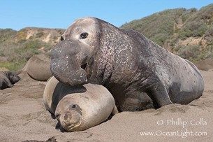C:\Users\strachanm\Pictures\elephant-seals-mating-photograph-15447-642099.jpg