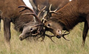 Two deer fighting with each other with their antlers, showcasing the occurrence of intrasexual selection